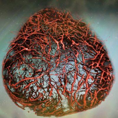 Vascular organoid image by Tibor Kulcsar